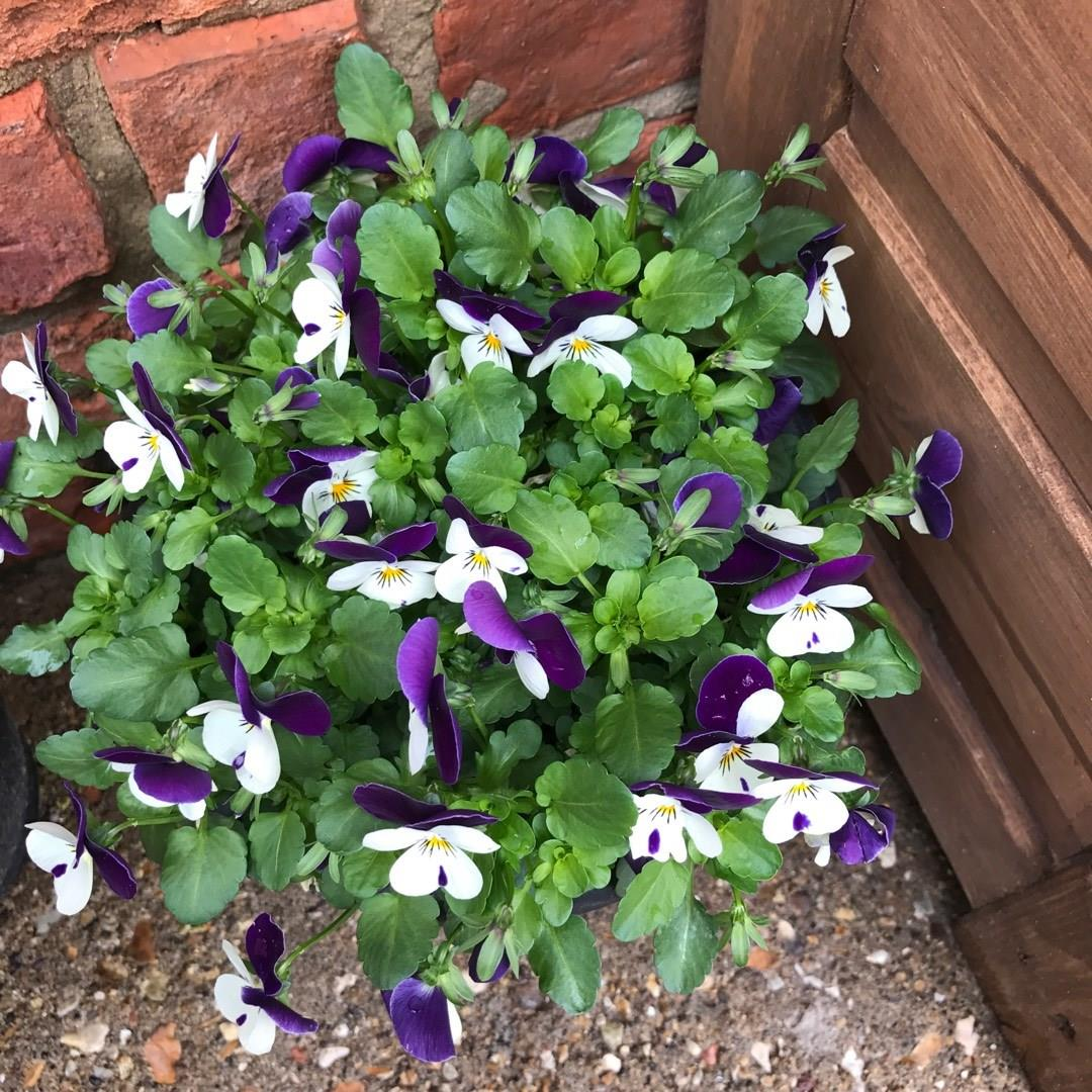 Pansy White Purple Wing in the GardenTags plant encyclopedia