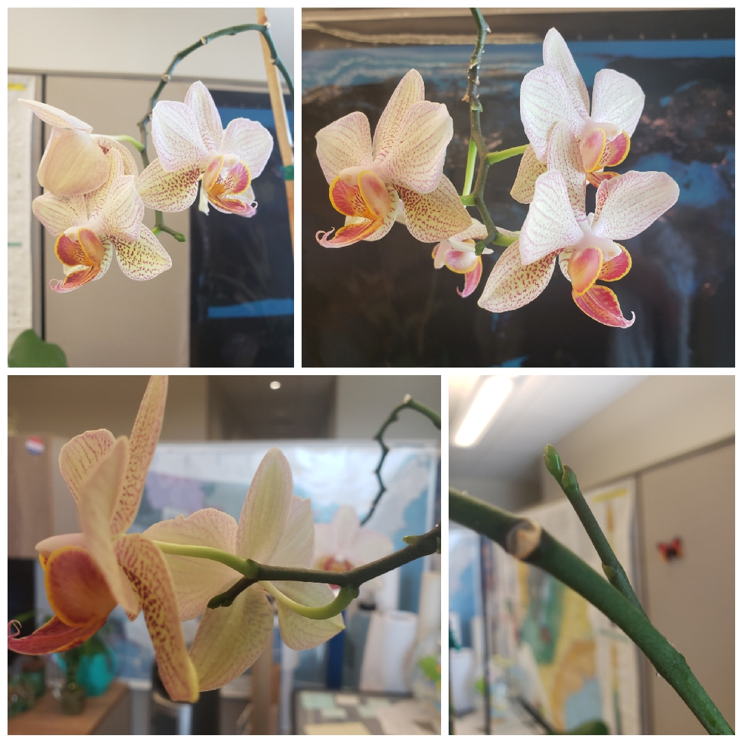 Moth Orchid Leningrad in the GardenTags plant encyclopedia