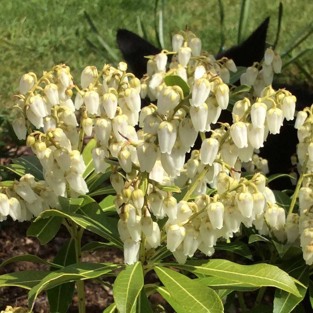 Pieris Purity in the GardenTags plant encyclopedia