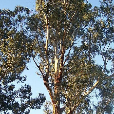 Gum Tree in the GardenTags plant encyclopedia