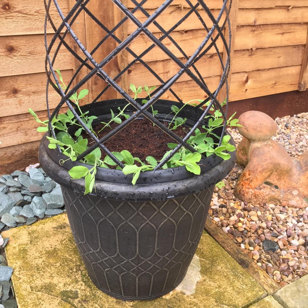 Magnificent Lathyrus Odoratus Cottage Garden Mix Sweet Pea Cottage Download Free Architecture Designs Intelgarnamadebymaigaardcom