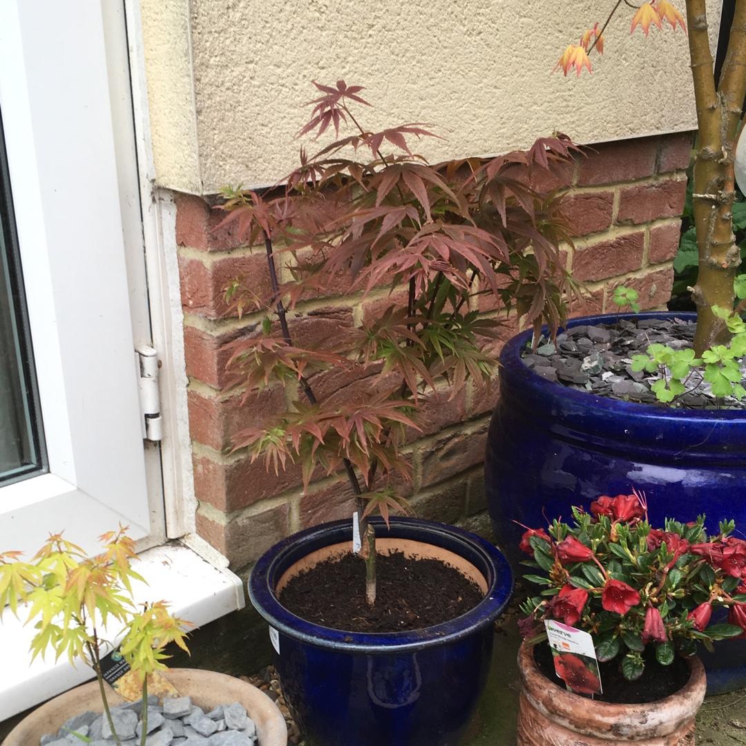 Acer Palmatum Pixie Japanese Maple Pixie In Gardentags Plant