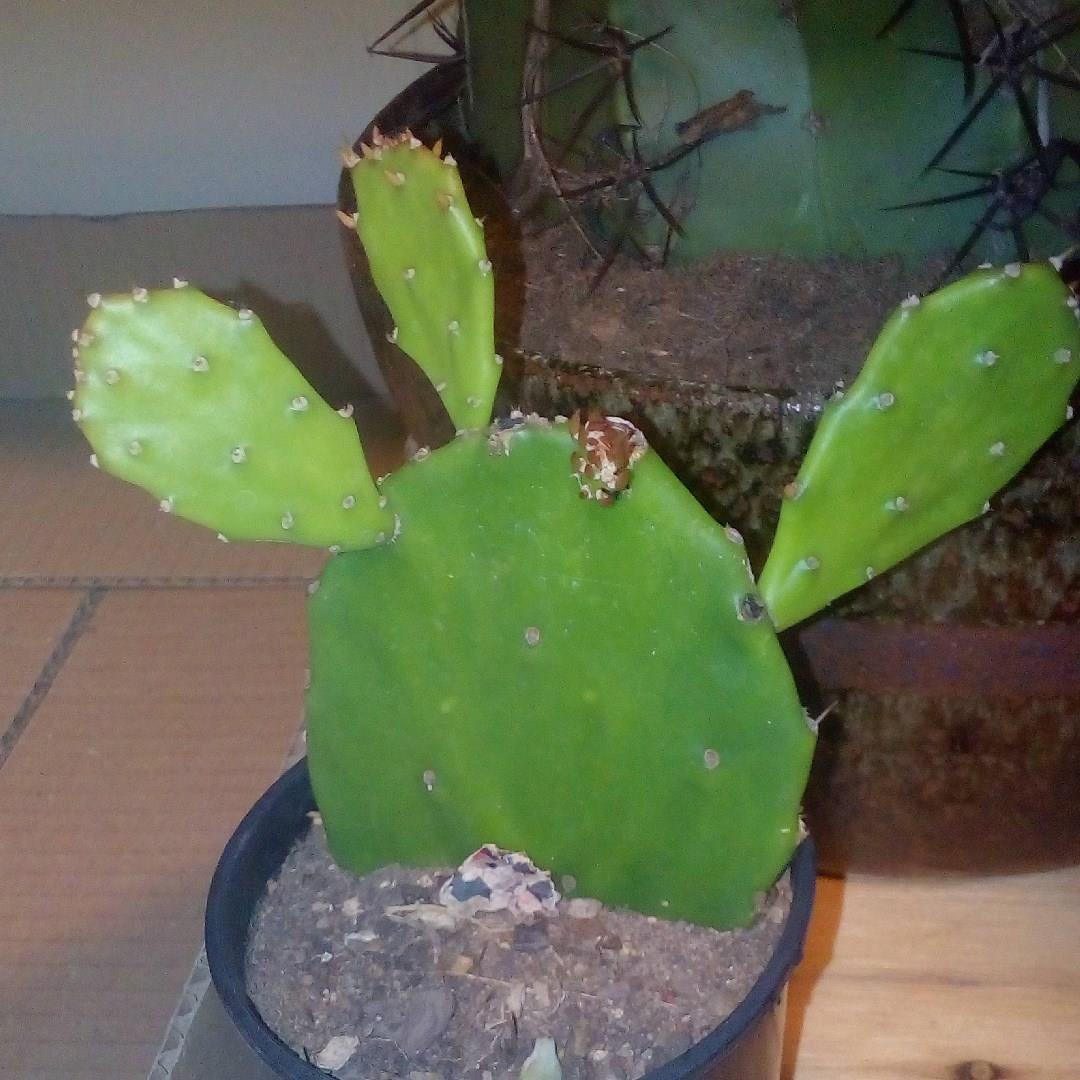 Prickly Pear in the GardenTags plant encyclopedia