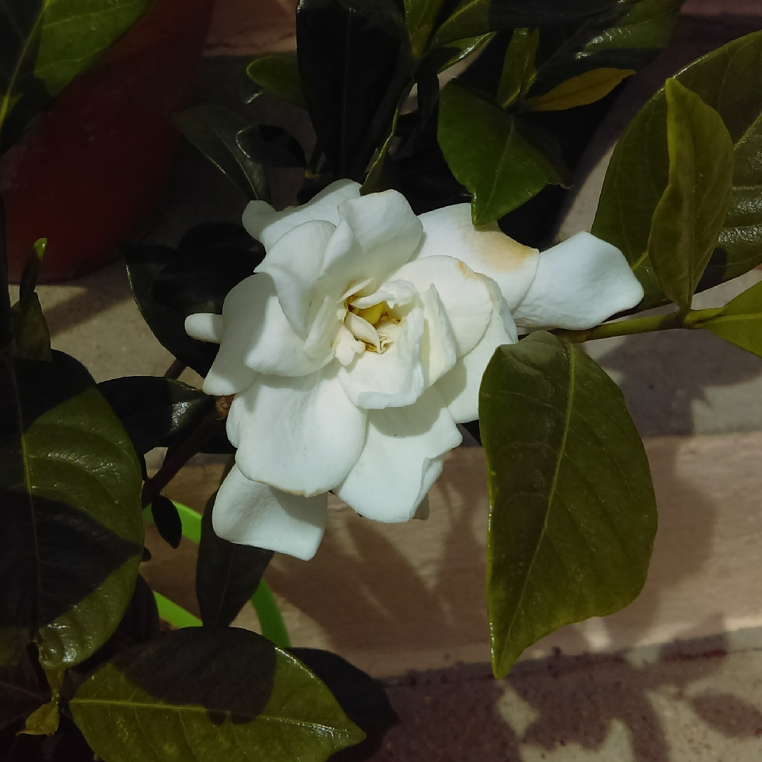 Gardenia August Beauty In The GardenTags Plant Encyclopedia