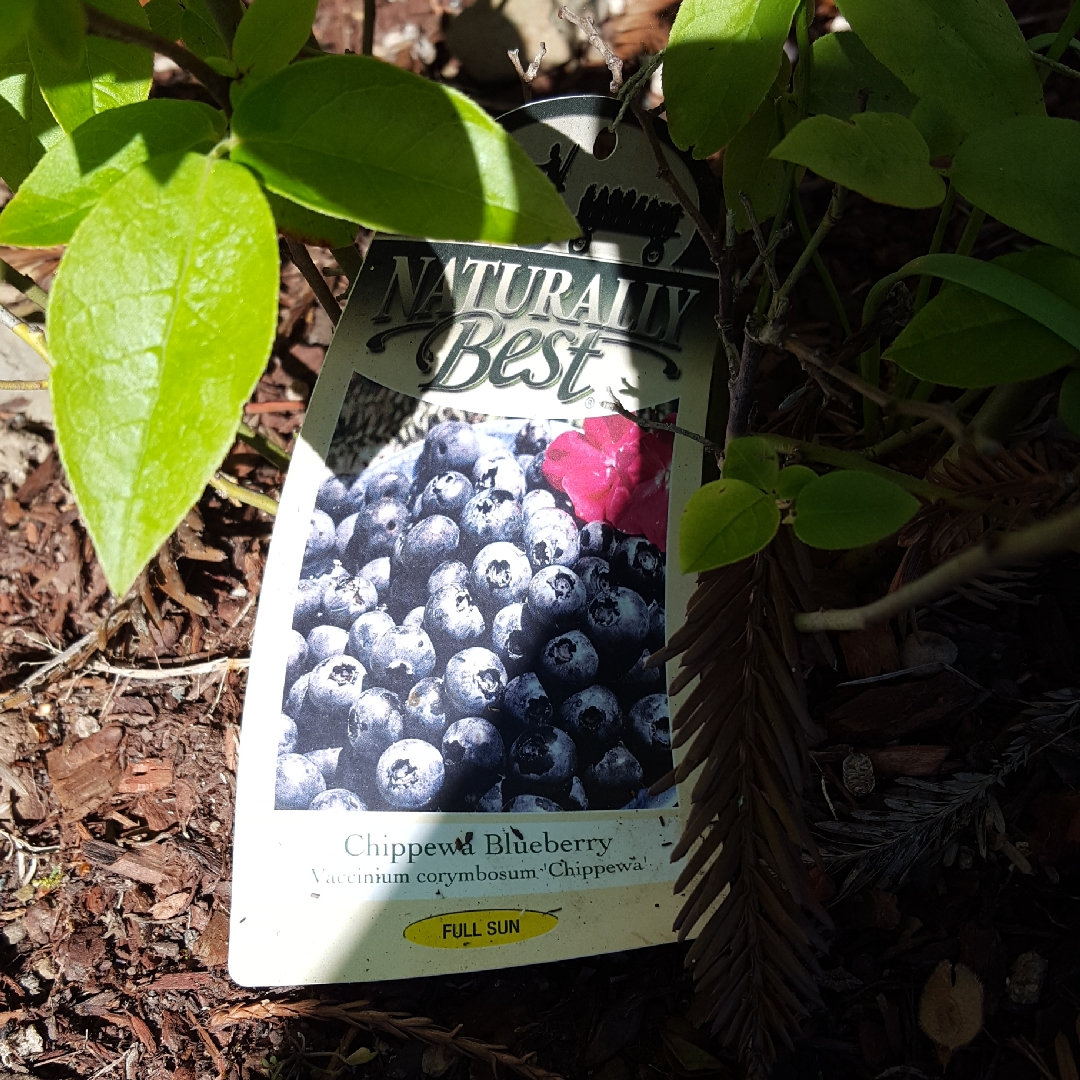 Blueberry Chippewa in the GardenTags plant encyclopedia