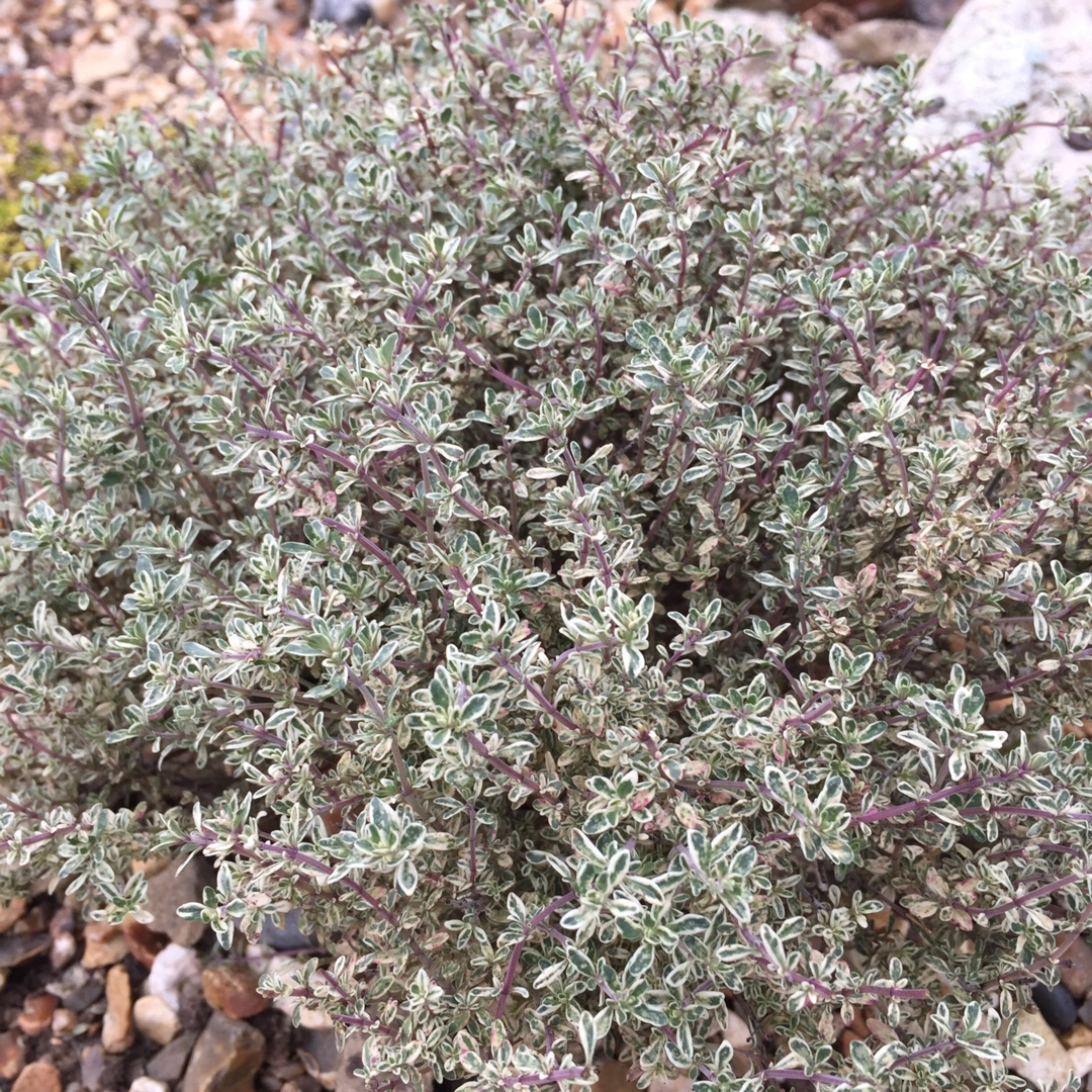Common Thyme Silver Posie in the GardenTags plant encyclopedia