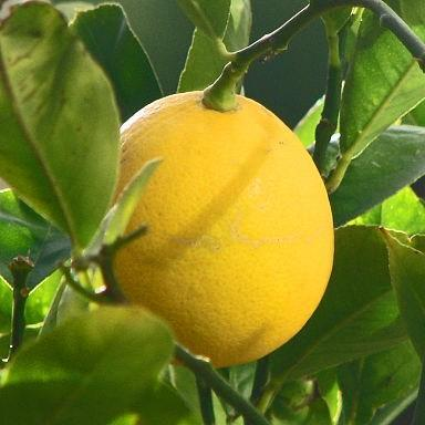 Meyer Lemon Tree in the GardenTags plant encyclopedia