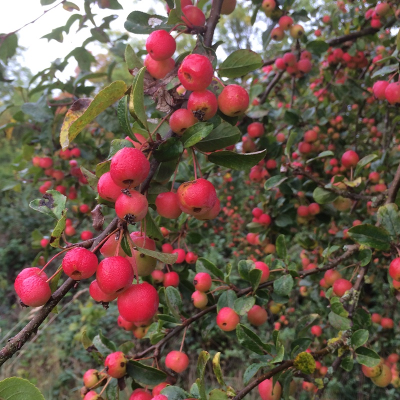 Crab Apple Tree Red Sentinel in the GardenTags plant encyclopedia