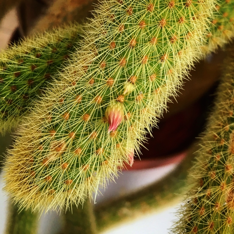 Golden Rats Tail Cactus in the GardenTags plant encyclopedia