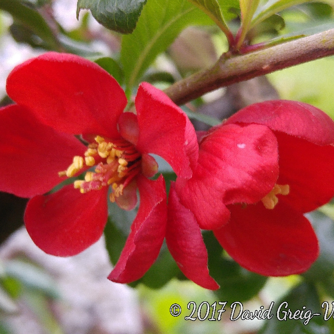 Japanese Quince Crimson and Gold in the GardenTags plant encyclopedia