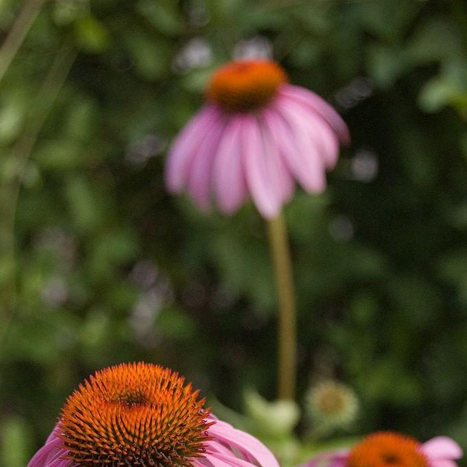Coneflower Magnus in the GardenTags plant encyclopedia
