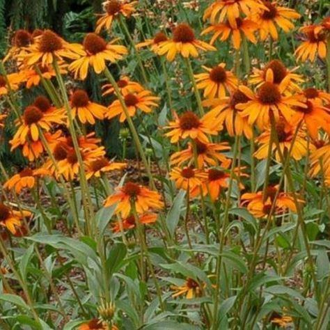 Coneflower Tiki Torch In The Gardentags Plant Encyclopedia