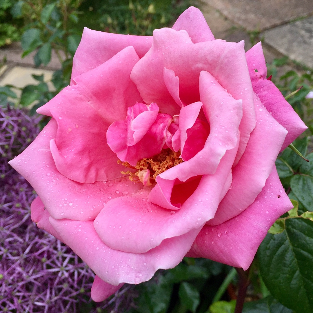 Hybrid Tea Rose Irenes Delight in the GardenTags plant encyclopedia