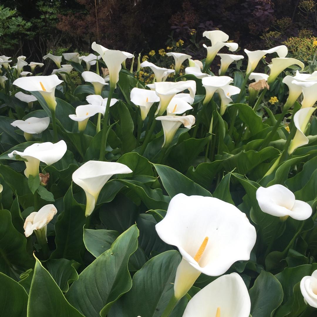 Zantedeschia Aethiopica Crowborough Arum Lily Crowborough In