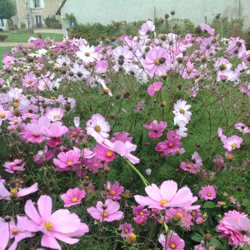 Cosmea in the GardenTags plant encyclopedia