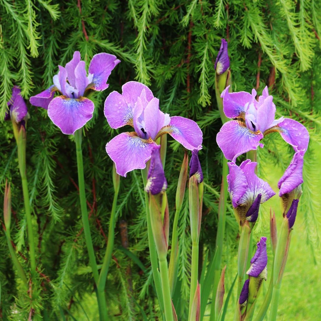 Iris sibirica lavendelwein siberian iris lavendelwein in siberian iris lavendelwein in the gardentags plant encyclopedia izmirmasajfo