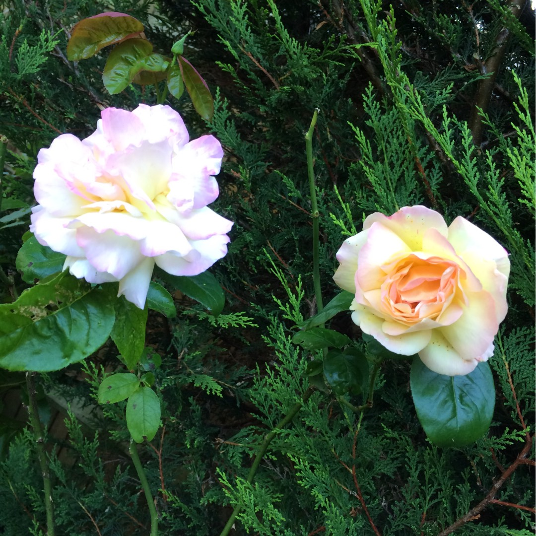 Rose Love And Peace In The Gardentags Plant Encyclopedia