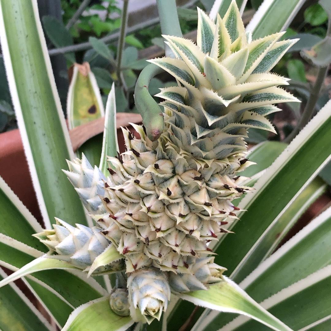 ananas de la varicoză)