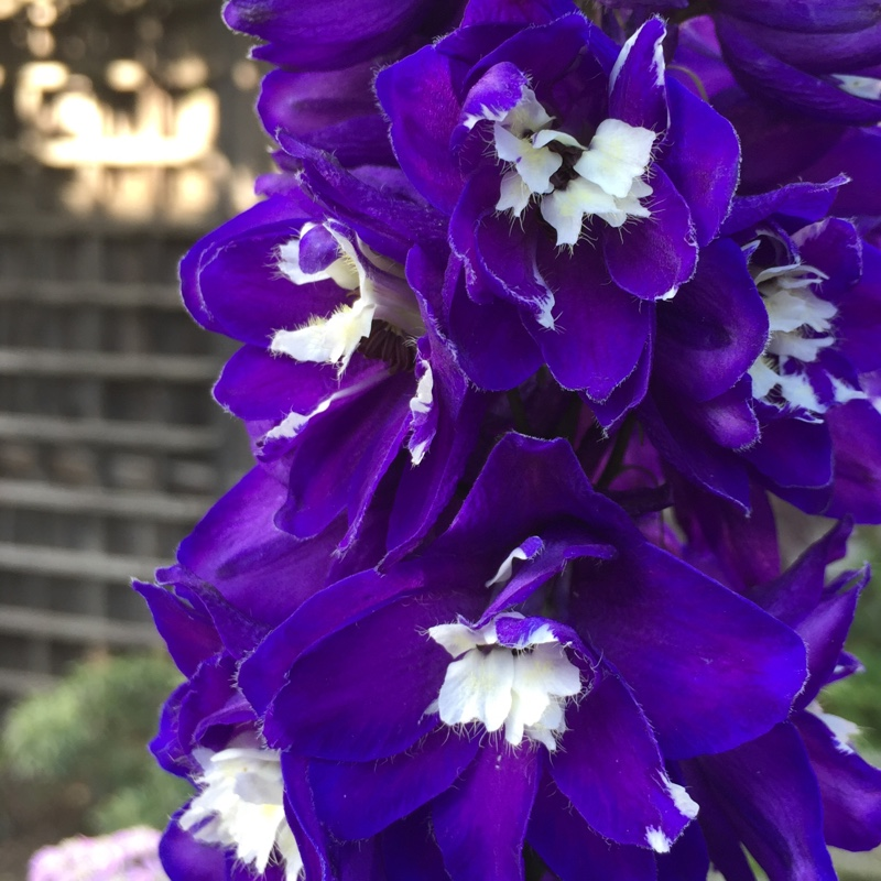 Delphinium purple passion in the GardenTags plant encyclopedia