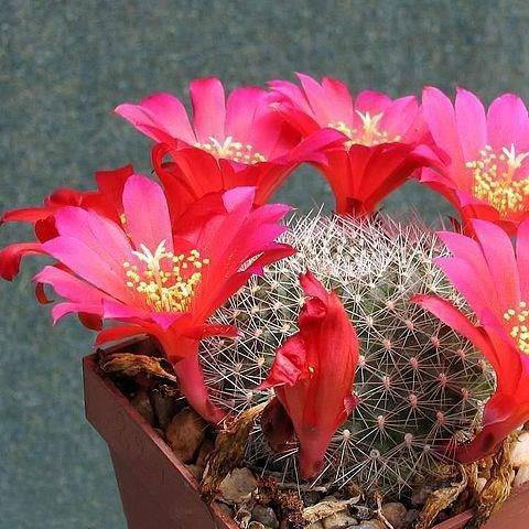 Rebutia Cactus in the GardenTags plant encyclopedia
