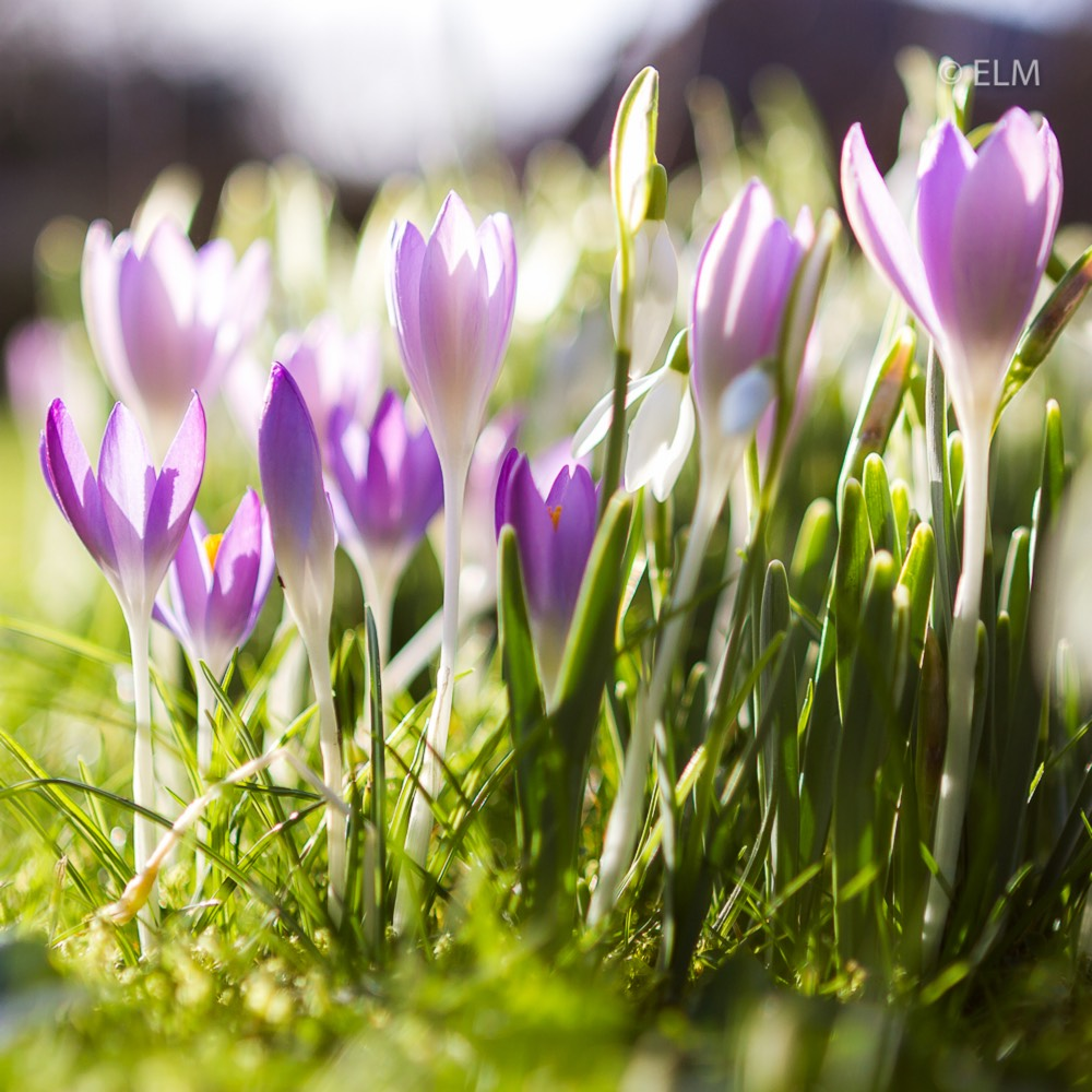 Crocus (Spring) in the GardenTags plant encyclopedia