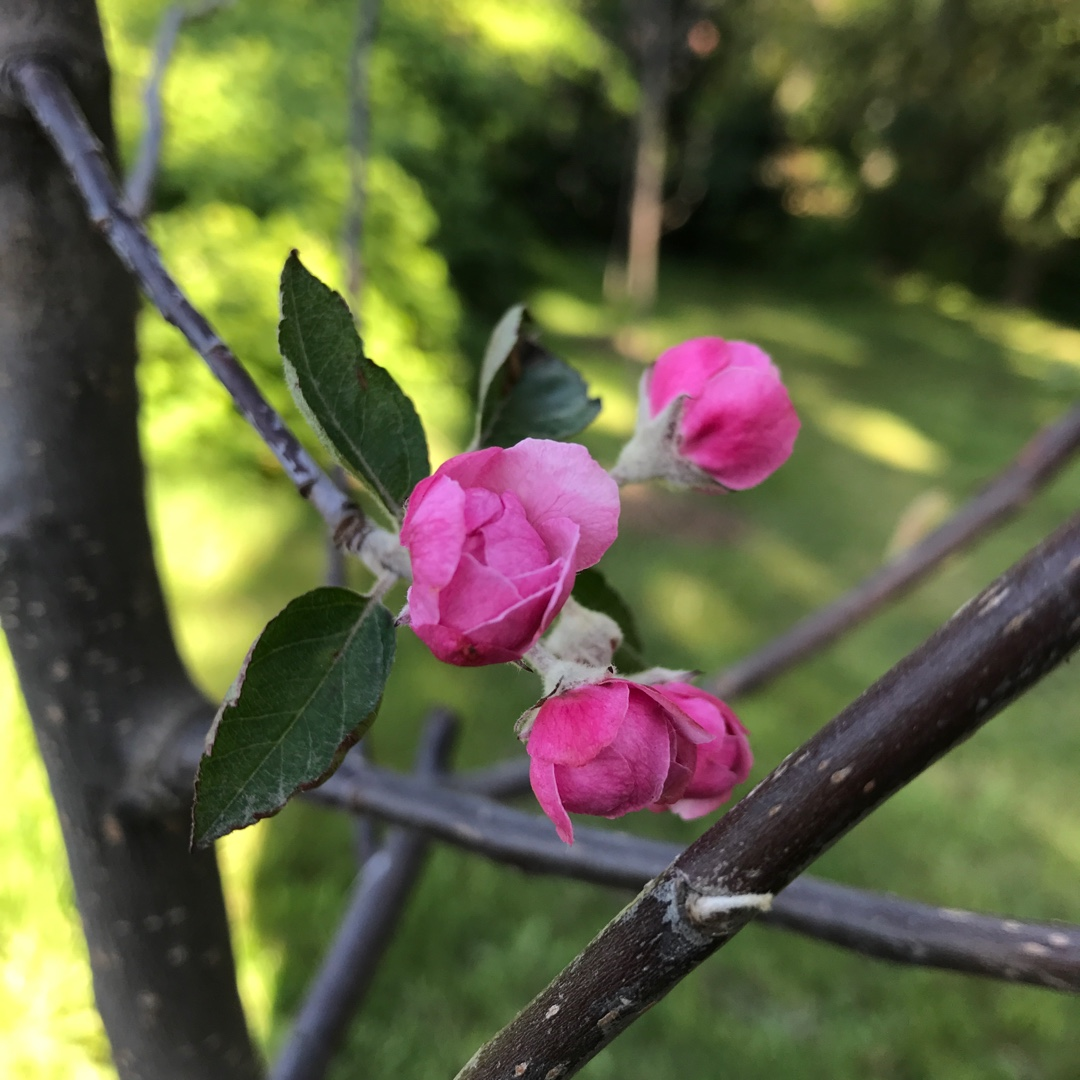 Crab Apple Brandywine in the GardenTags plant encyclopedia