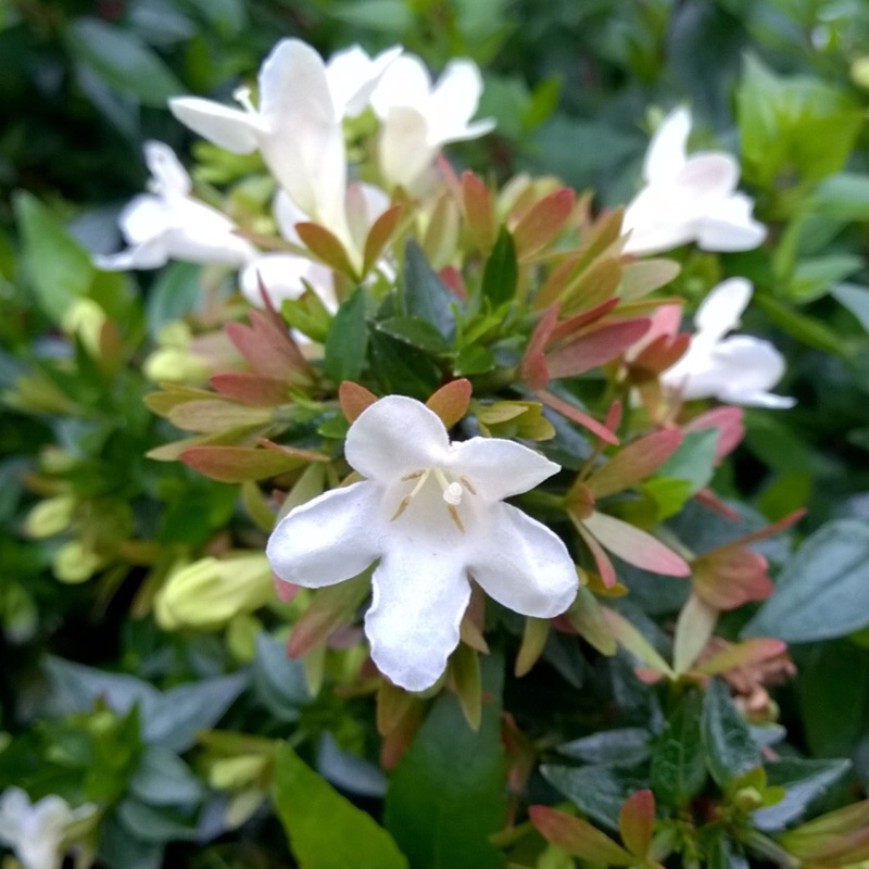 Abelia x grandiflora in the GardenTags plant encyclopedia