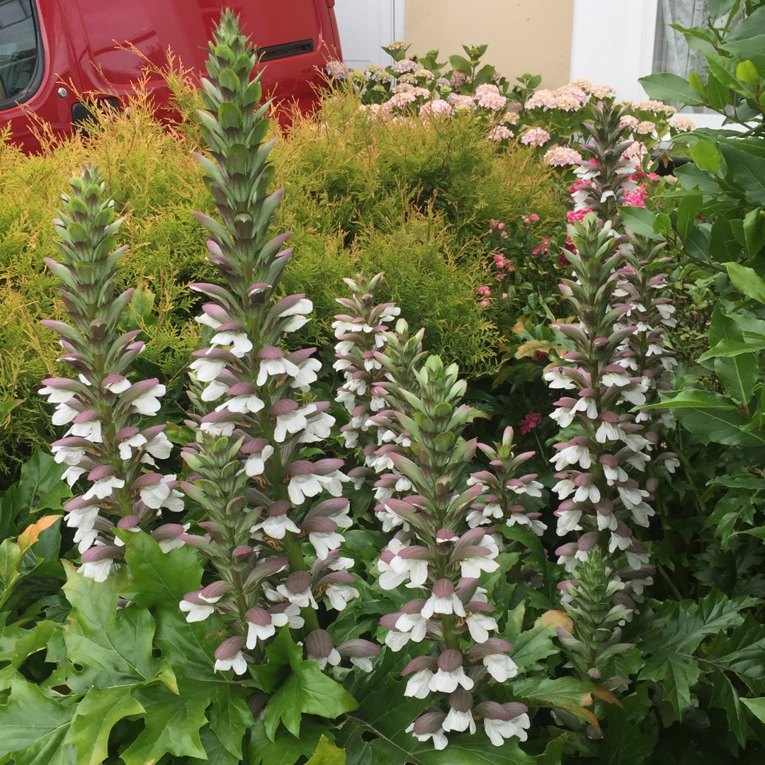 Acanthus Spinosus Spiny Bears Breeches In Gardentags Plant