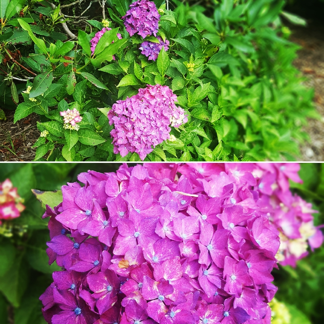 Hydrangea Pia in the GardenTags plant encyclopedia