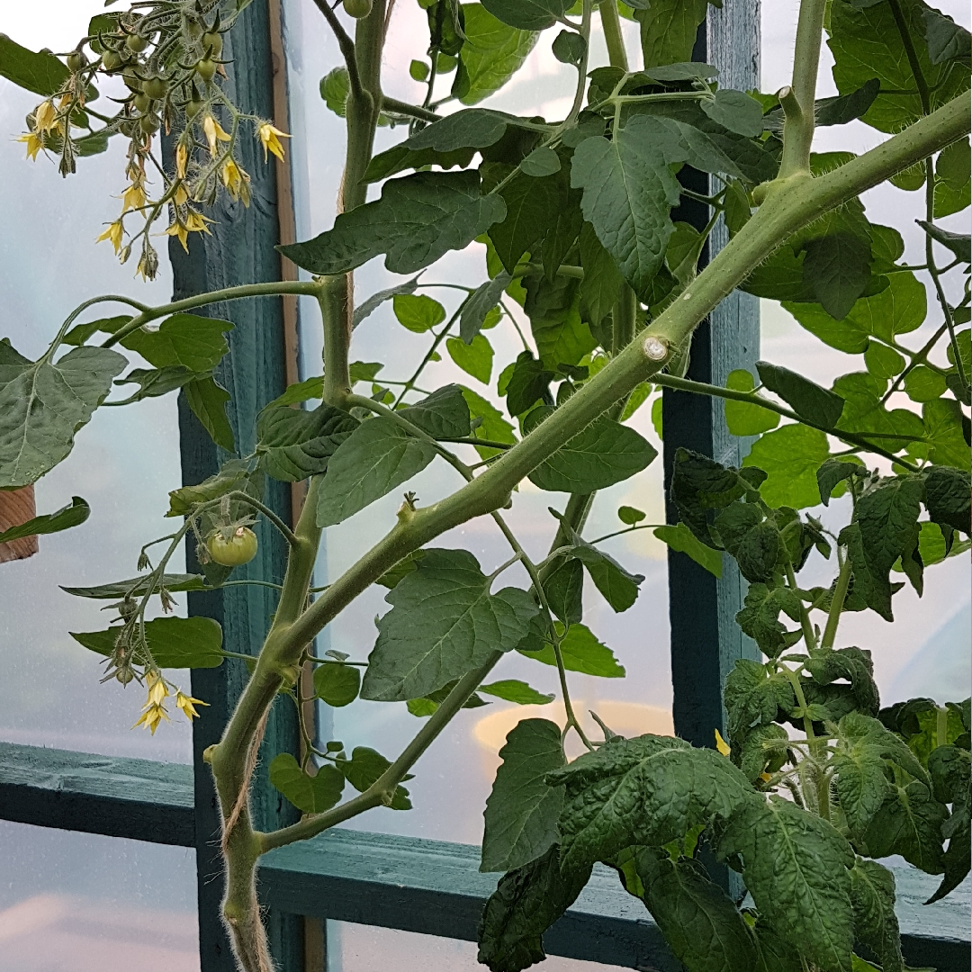 Tomato Sunbaby (Cherry Tomato) in the GardenTags plant encyclopedia