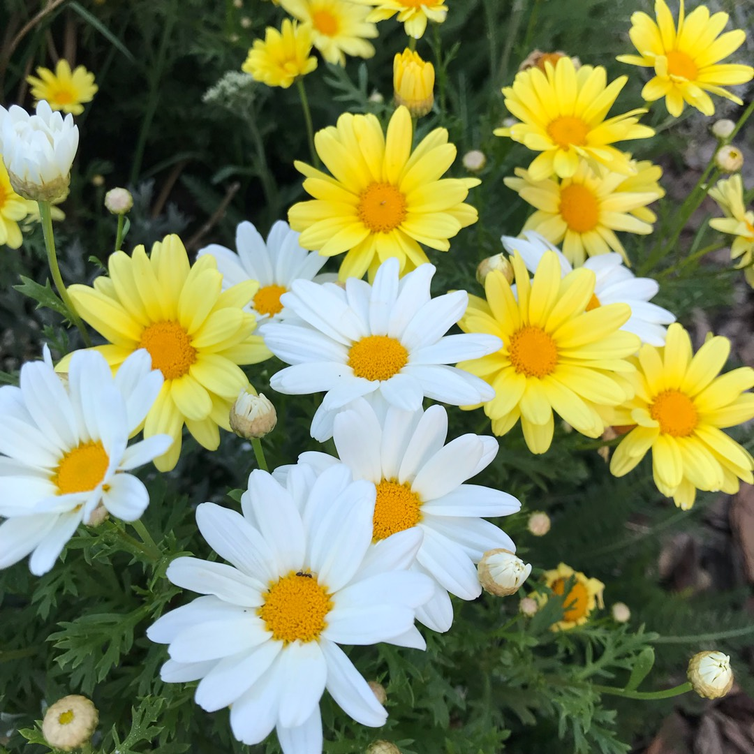 Marguerite Daisy Butterfly in the GardenTags plant encyclopedia