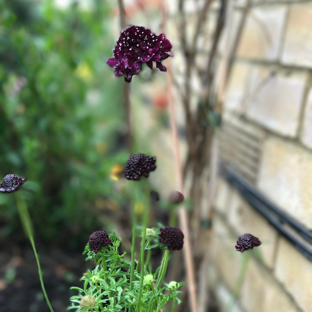 Scabiosa Barocca Pincushion Flower In Gardentags Plant Encyclopedia