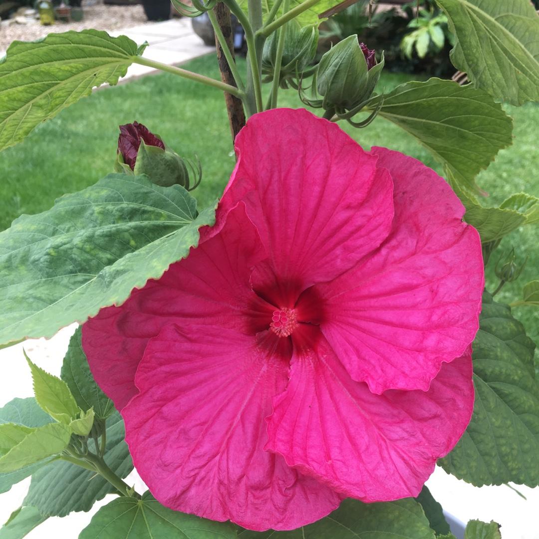 Hibiscus Moscheutos Luna Rose Hibiscus Luna Rose In Gardentags