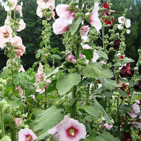 Hollyhock in the GardenTags plant encyclopedia