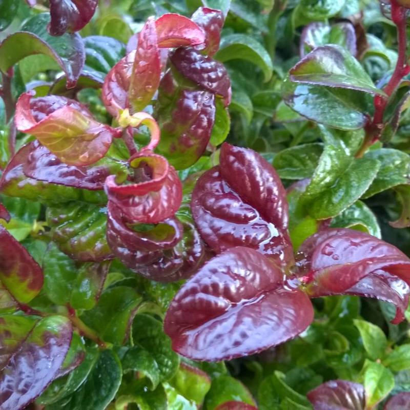 Dog-hobble Curly Red in the GardenTags plant encyclopedia
