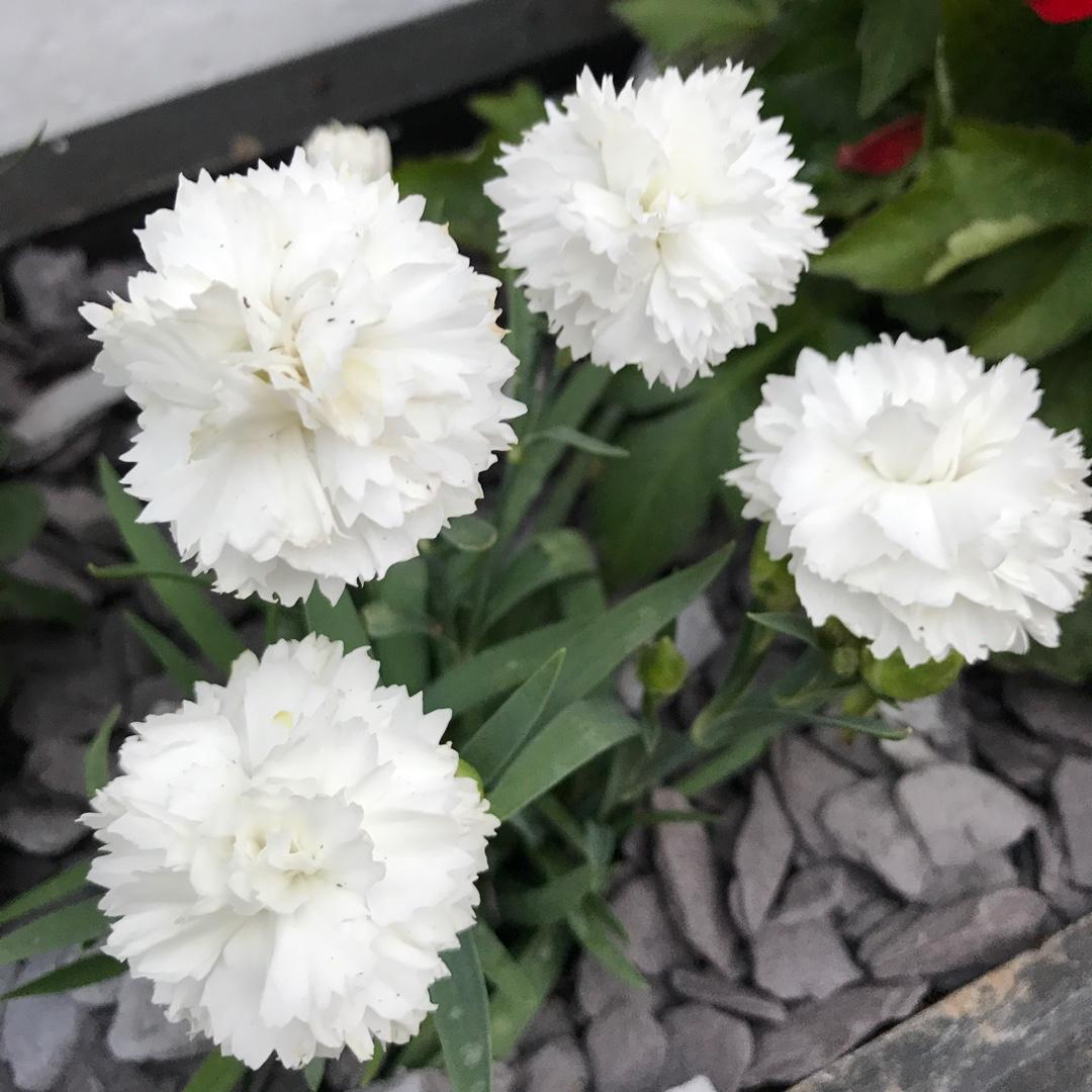 Dianthus Caryophyllus Suncharm White Carnation Suncharm White
