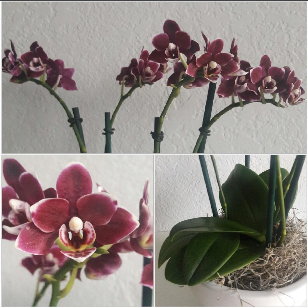Mini Phalaenopsis Orchid in the GardenTags plant encyclopedia