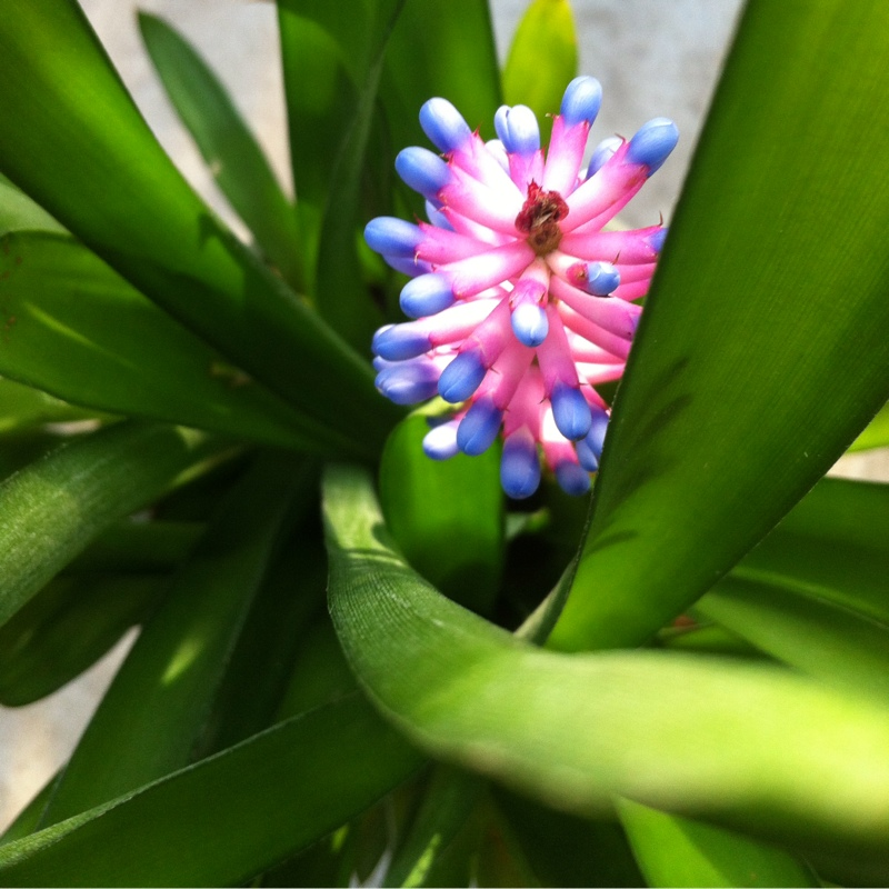 Matchstick Bromeliad in the GardenTags plant encyclopedia