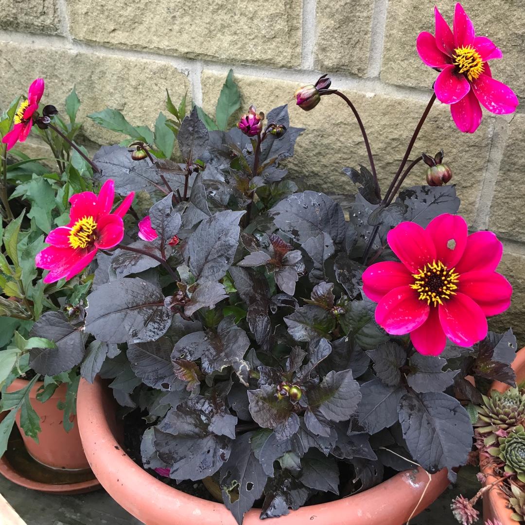 Dahlia Bishop Of Canterbury Dahlia Bishop Of Canterbury Peony Flowered In Gardentags Plant Encyclopedia