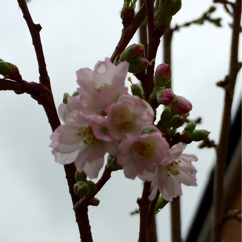 Winter Flowering Cherry Autumnalis in the GardenTags plant encyclopedia