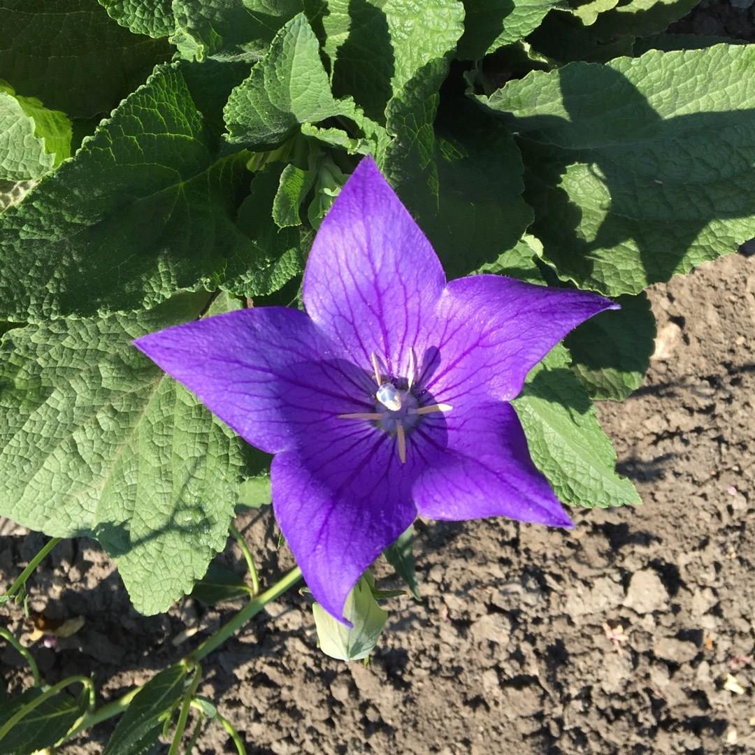 Platycodon Grandiflorus Fuji Blue Syn Campanula Grandiflora Fuji