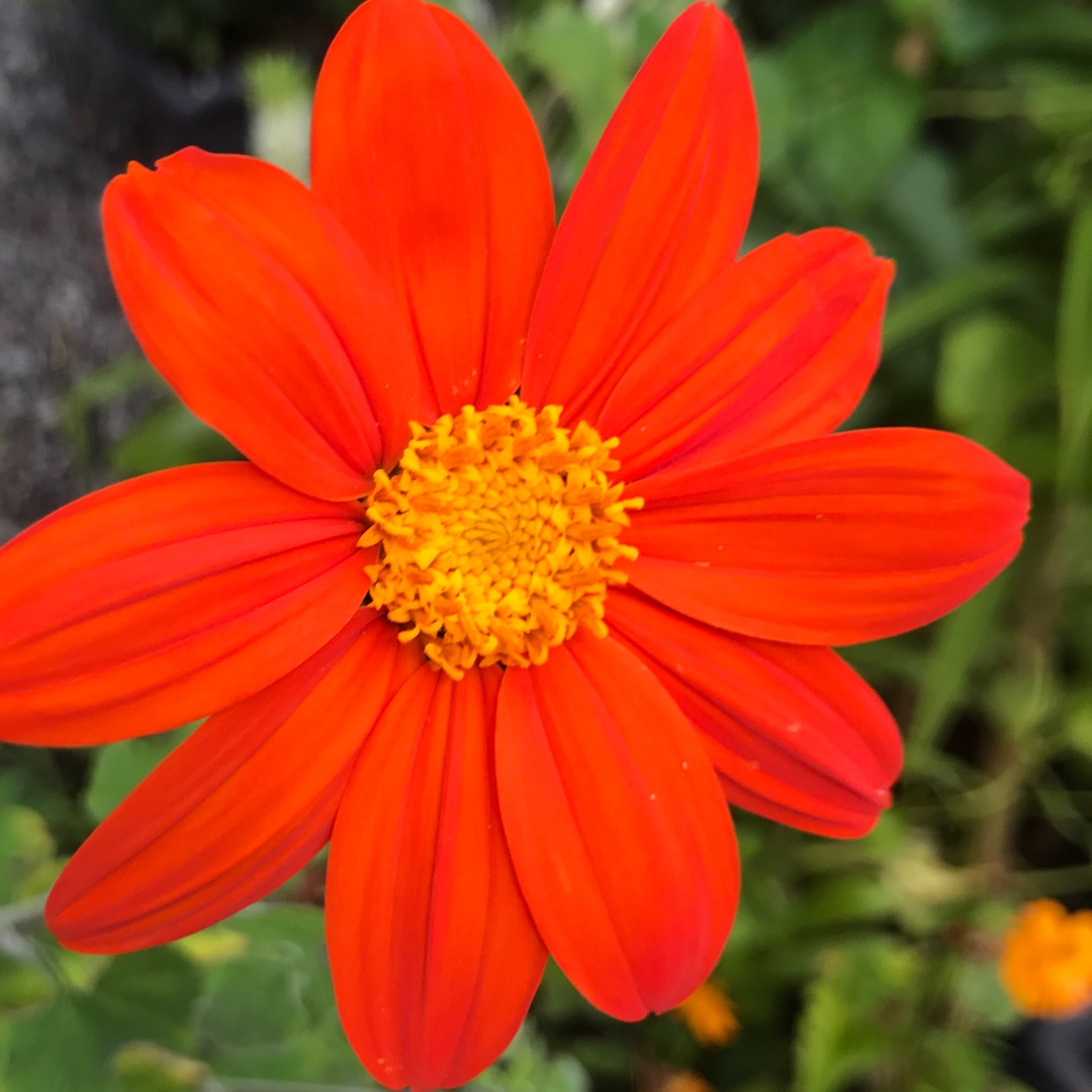Mexican Sunflower in the GardenTags plant encyclopedia