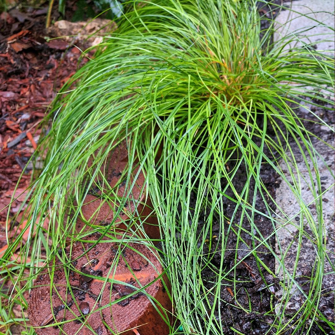 Carex Texensis Texas Sedge In Gardentags Plant Encyclopedia