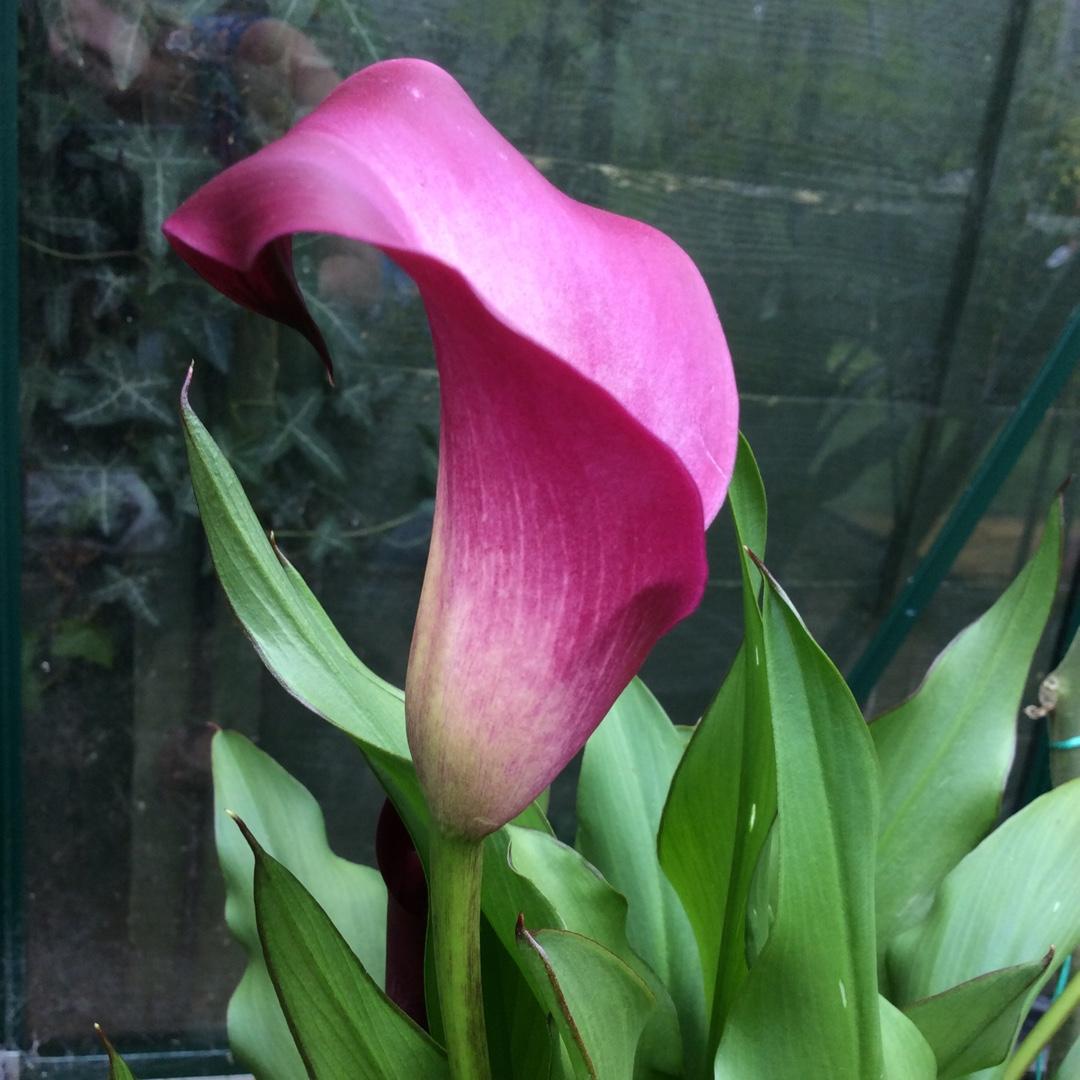 Zantedeschia Aethiopica Sumatra Arum Lily Sumatra In