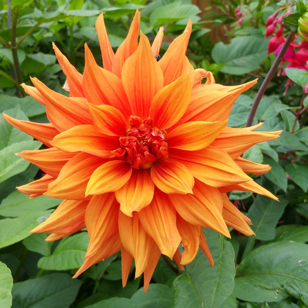 Dahlia Mrs Eileen In Gardentags Plant Encyclopedia