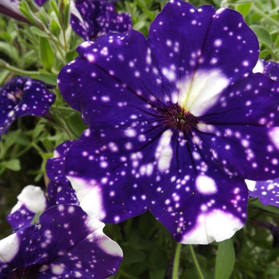 Petunia Night Sky in the GardenTags plant encyclopedia