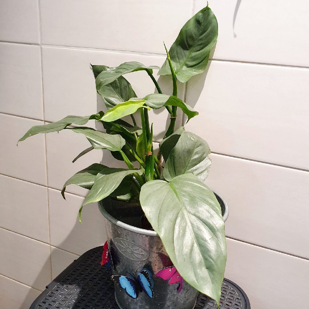 Silver Sword Philodendron in the GardenTags plant encyclopedia