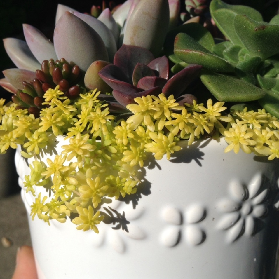 Goldmoss Sedum in the GardenTags plant encyclopedia