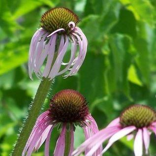 Pale Purple Coneflower in the GardenTags plant encyclopedia