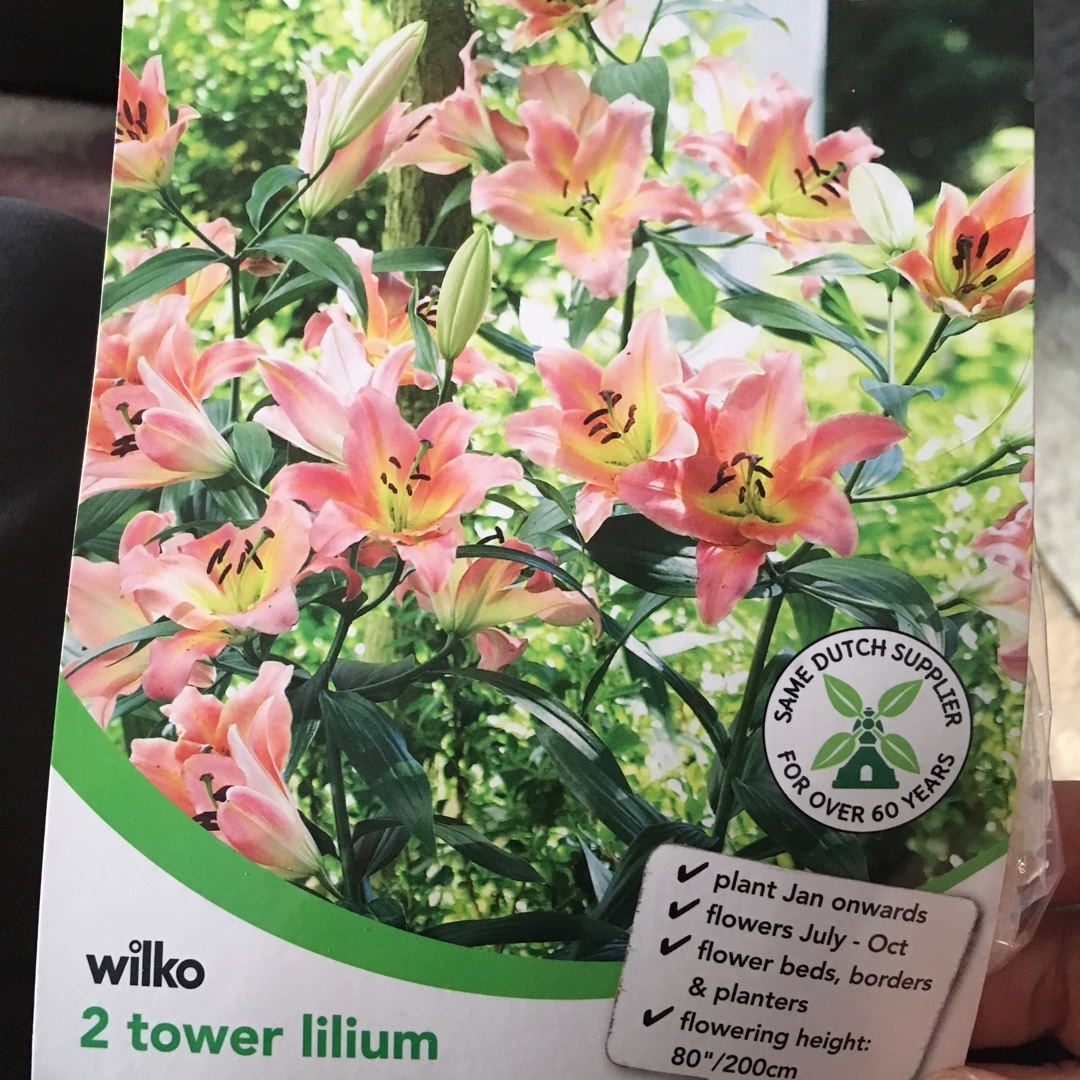 Lilium On Stage Tree Lily On Stage In Gardentags Plant Encyclopedia